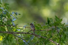quabbinreservoir2019-187 (gtxjimmy) Tags: nikond7500 nikon d7500 summer newengland quabbinreservoir belchertown ware massachusetts bird