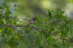 quabbinreservoir2019-186 (gtxjimmy) Tags: nikond7500 nikon d7500 summer newengland quabbinreservoir belchertown ware massachusetts bird