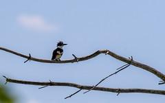 quabbinreservoir2019-185 (gtxjimmy) Tags: nikond7500 nikon d7500 summer newengland quabbinreservoir belchertown ware massachusetts bird beltedkingfisher kingfisher