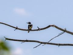 quabbinreservoir2019-182 (gtxjimmy) Tags: nikond7500 nikon d7500 summer newengland quabbinreservoir belchertown ware massachusetts bird beltedkingfisher kingfisher