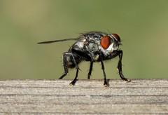 Mouche domestique (bernard.bonifassi) Tags: bb088 06 2019 mouche canonpowershotsx60hs insecte aout macro canon drone