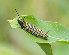 Monarch Butterfly (wplynn) Tags: danaus plexippus monarch insect moenlakechain fourth lake rhinelander wisconsin bug caterpillar
