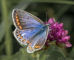 Dover Common Blue