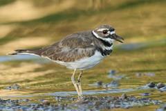 Killdeer - Aug-09-2019 (2-1) (JPatR) Tags: illinois killdeer august foxriver carpentersville 2019 foxrivervalley carpentersvilledam summer bird nature wildlife shorebird
