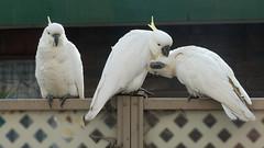Head over heels ... (PhotosbyDi) Tags: cockatoo sulphurcrestedcockatoos australianwhitecockatoo birds backyardbirds panasoniclumix panasonicfz300 lumixfz300