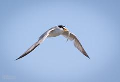 Breeding Least Tern (Sternula antillarum) (Don Dunning) Tags: alameda birds california canon7dmarkii canonef100400mmisiiusm elsieroemerbirdsanctuary flight leasttern sternulaantillarum tern