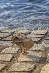 Algo se le metería en el ojo (lebeauserge.es) Tags: varenna italia europe lago agua pato animal