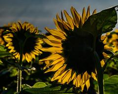 Sunflowers waiting for the morning sun (shinichiro*) Tags: 南都留郡 山梨県 日本 20190808ds22656 2019 crazyshin nikonz6 z6 nikkorz2470mmf4s august summer sunflower 山中湖花の都公園 flower yamanashi japan jp candidate 48523720492