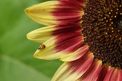 Ladybug on a sunflower (bencbright) Tags: ladybug sunflower flower insect samyang samyang135mm fujifilm fuji xt10