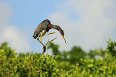 Balancing on a Branch (Michiale Schneider) Tags: tricoloredheron bird branch tree sky dingdarlingwildliferefuge sanibelisland florida michialeschneiderphotography