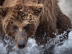 bear fishing (Drew Hamilton) Tags: