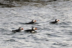 Winging it with the Sony (*CA*) Tags: maine pemaquid puffins