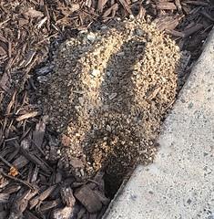 Cicada Killer Wasp Burrow (mudder_bbc) Tags: wasps diggerwasps cicadakillerwasp spheciusspeciosus burrow summer august