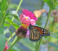 Monarchs continue arriving ... (Vicki's Nature) Tags: monarchs male female zinnias pink flowers yard georgia vickisnature august canon s5 9871 migrating