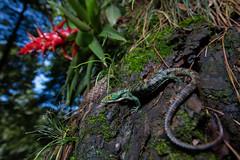 Arboreal Alligator lizard (Evan Arambul) Tags: mexico fieldherping wildlife nature reptiles lizards arboreal alligator