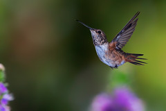 Free! (Patricia Ware) Tags: allenshummingbird backyard birdsinflight california canon manhattanbeach multipleflash selasphorussasin tripod ©2019patriciawareallrightsreserved specanimal