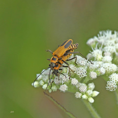 Couple de Cantharides de Pennsylvanie / Mating pair of Goldenrod Soldier beetles (alainmaire71) Tags: insecte insect coleoptera coléoptère cantharidae cantharides soldierbeetle chauliognatuspensylvanicus cantharidedepennsylvanie nature quebec canada goldenrodsoldierbeetle eupatoriumperfoliatum commonboneset eupatoireperfoliée