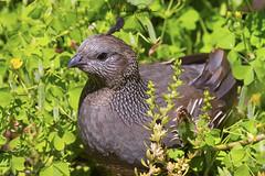 Female California Quail (NikonDigifan) Tags: californiaquail quail birdwatching bird nature naturephotography wildlife wildlifephotography animal washington pacificnorthwest nikond850 nikon nikon20050056 mikegassphotography