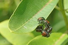 Ah, les phéromones... / Pheromone effect (alainmaire71) Tags: insecte insect coleoptera coléoptère scarabaeidae scarabées popilliajaponica scarabéejaponais japanesebeetle nature quebec canada