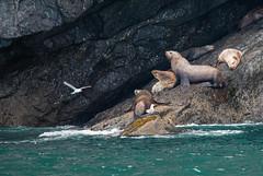 Sea Lion Habitat (ap0013) Tags: seward alaska sewardalaska kenaifjords nationalpark wildlife nature animal natural np national park kenai fjords ak sea lion sealion