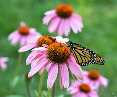 Resting........ (smiles7) Tags: butterfly monarch
