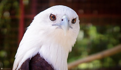 Hawk (Buteo jamaicensis) (Lr Home) Tags: a6000 sigma16mm