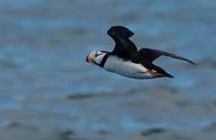 Puffin in flight (ap0013) Tags: seward alaska sewardalaska kenaifjords nationalpark wildlife nature animal natural np national park kenai fjords ak puffin flying flight bird birding