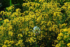 Enclosed by gold !! (Lopamudra !) Tags: lopamudra lopamudrabarman lopa kashmir kasmir himalaya himalayas jk india yellow golden flora flower flowers beauty beautiful