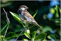 House Sparrow 4219 (maguire33@verizon.net) Tags: housesparrow passerdomesticus sparrow bird male wildlife