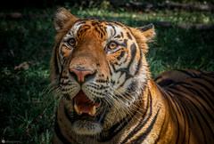 Panthera tigris (Lr Home) Tags: a6000 tiger zoo animal mammal cats cat sel1650