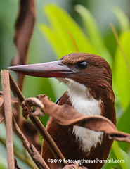White-throated Kingfisher (Halcyon smyrnensis fusca) DSD_6581 (fotosynthesys) Tags: whitethroatedkingfisher halcyonsmyrnensisfusca halcyonsmyrnensis treekingfisher kingfisher alcedinidae bird srilanka