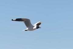 Andean Gull (Chroicocephalus serranus) (Kremlken) Tags: chroicocephalusserranus gulls andes nationalparks chilean mountains arica birds birding bird birdwatching flight nature nikon500 southamerica