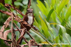 White-throated Kingfisher (Halcyon smyrnensis fusca) DSD_6579 (fotosynthesys) Tags: whitethroatedkingfisher halcyonsmyrnensisfusca halcyonsmyrnensis treekingfisher kingfisher alcedinidae bird srilanka negombo