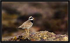 RINGED PLOVER (PHOTOGRAPHY STARTS WITH P.H.) Tags: south milton sands thurlestone devon nikon d500 200500mm afs vr ringed plover