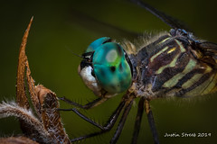 2X Magnification Dragon Fly Stack (strjustin) Tags: bluedasher dragonfly insect bug macro mpe focusstack eyes