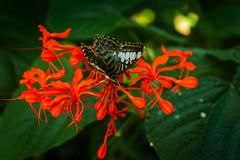 Zoo Butterfly (Bracus Triticum) Tags: zoo butterfly アルバータ州 alberta canada カナダ calgary カルガリー 7月 七月 文月 shichigatsu fumizuki bookmonth 2019 reiwa summer july