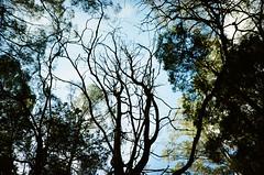 Tree branches (Matthew Paul Argall) Tags: kodakeasyload35ke60 35mmfilm kodakultramax400 kodak400 ultramax 400isofilm untouchedandunedited treebranches
