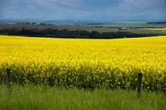 Alberta Canola Landscape (Bracus Triticum) Tags: alberta canola landscape アルバータ州 canada カナダ 7月 七月 文月 shichigatsu fumizuki bookmonth 2019 reiwa summer july