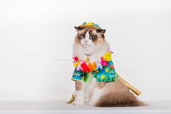 Ragdoll in costume (Sharleen Chao) Tags: 布偶貓 ragdoll cat kitten feline domesticcat pet studio indoors whitebackground 棚拍 鄭哈波 taiwan taipei 寵物攝影 ラグドール