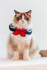 布偶貓 鄭哈波 (Sharleen Chao) Tags: 布偶貓 ragdoll cat kitten feline domesticcat pet studio indoors whitebackground 棚拍 鄭哈波 taiwan taipei 寵物攝影 ラグドール