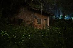 MAN_0909 (Liang Yan Chen) Tags: 螢火蟲 firefly