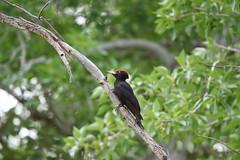 Anglų lietuvių žodynas. Žodis black woodpecker reiškia juodoji meleta lietuviškai.