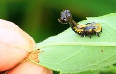 sunflower tortoise beetle (Physonota helianthi) larva on sawtooth sunflower leaf at Hayden Prairie State Preserve IA 653A2898 (naturalist@winneshiekwild.com) Tags: sunflower tortoise beetle physonota helianthi hayden prairie state preserve larva howard county iowa larry reis