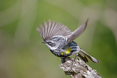 Yellow-rumped Warbler (Alan Gutsell) Tags: yellowrumpedwarbler yellow rumped warbler songbird migration wildlife naturephoto alan michigan upper peninsula june migratorybirdtreaty canon camera wildlifephoto photography