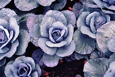 Rain on Cabbage Heads, Pittsburgh, PA (joelfetzer) Tags: canoniis2 rangefinder barnack screwmount ltm kodak portra160 film cabbage blue pittsburgh pennsylvania industar50 rain