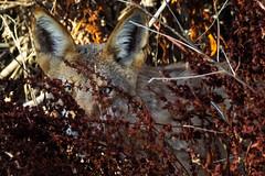 coyote_in_bushes (shaunmfuller) Tags: coyote arizona wildlife nature