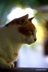Cat's profile by iezalel williams IMG_4939-003 (iezalel7williams) Tags: cat colorful photo beautiful photography orange white yellow outdoor observation nature pet domestic animal beauty natural light love profile preciouslife thankyou presence energy patience zenitude canoneos700d
