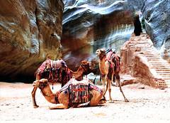BEST BEST CAMELS IN PETRA CANYON BEST PAN (Gerry Slabaugh) Tags: petra gerryslabaugh camel camels jordan bedouins beduins tranportation desert