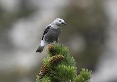 Clark's Nutcracker (Christopher Lindsey) Tags: greatbasin nationalpark juvenile clarksnutcracker bird birds birding whitepinecounty nevada