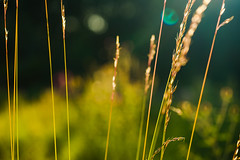 Stems and seeds (tonguedevil) Tags: outdoor outside countryside summer nature field meadow grass green colour light shadows sunlight stems seeds